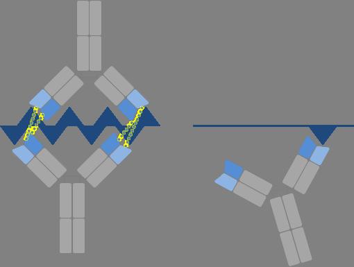 Antikörper, die sich gegen nebeneinander liegende Epitope richten (linke Seite), können miteinander kooperieren und so ihr Antigen stärker binden. © Katharina Imkeller, DKFZ