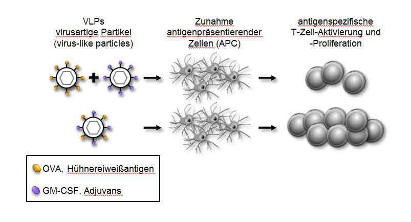 Die Kombination von Antigen und Adjuvans in virusartigen Partikeln (unten) führt zu stärkeren Immunreaktion als bei getrennter Präsentation. Dies könnte für Impfstoffe genutzt werden. © PEI